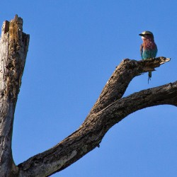 Lilac-breasted Roller Tanzania