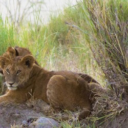 Lion cubs wait