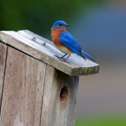 Male Bluebird Perched On A Wooden Bird House