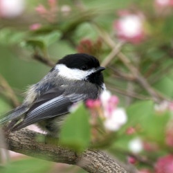 Chickadee Perched On A Cherry Blossom Tree