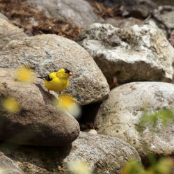 Male Goldfinch Perched On A Rock