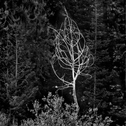 Dead Tree, Tetons, July 2012