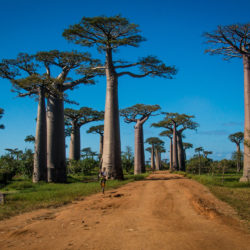 Walk Along The Avenue Of The Baobabs