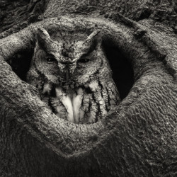 Eastern Screech Owl in a Beech tree