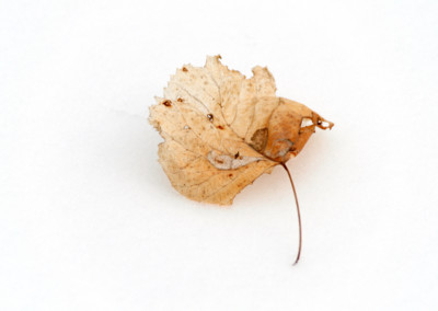 Susan Schramm_Winter Leaf