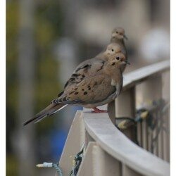 3 Mourning doves